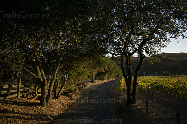 A winding country road through a Sonoma vineyard