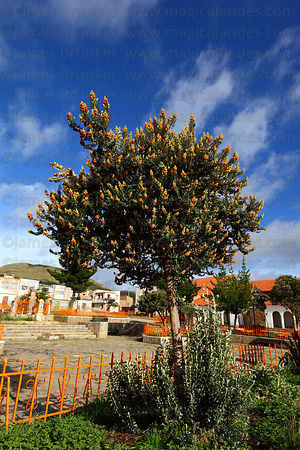 Buddleja coriacea or kiswara tree in Calamarca village square, Bolivia