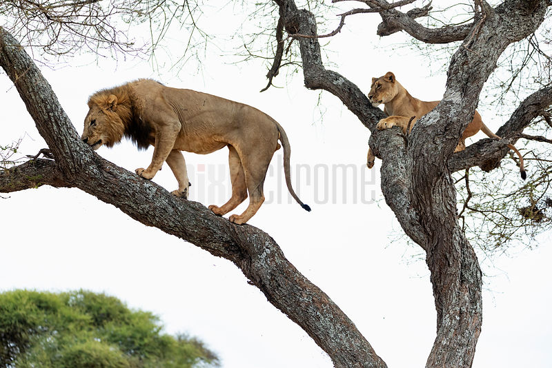 Male Lion Sniffing a Female's Scent in an Acacia Tree