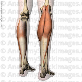 lowerleg-musculus-triceps-surae-calf-muscle-gastrocnemius-mediale-laterale-soleus-achilles-tendon-tuber-calcanei-back-skin