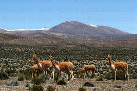 Small family group of vicuña ( Vicugna vicugna ) in typical habitat , Las Vicuñas National Reserve , Region XV , Chile