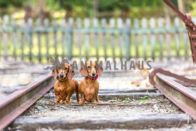 Two Dachsunds on abandoned railway track