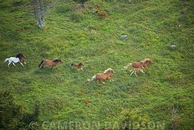 Ponies running on Mount Rogers in Grayson County, virginia