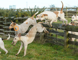 Cottesmore hounds jumping a hunt jump at Hill Top Farm