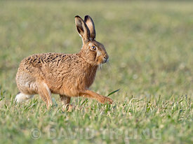 Brown Hare Lepus europaeus North Norfolk February