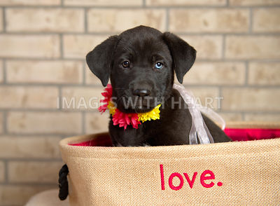 Female Black Lab mix puppy with flower collar