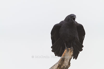 Crows and Jays photos