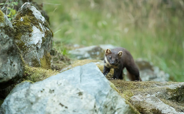 An attempt to photograph Pine Marten in daylight