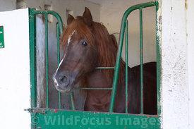 A Berab horse at the Royal Stables. The Berab is a hybrid of the Arabain and Berber horses. Meknes, Morocco; Landcape