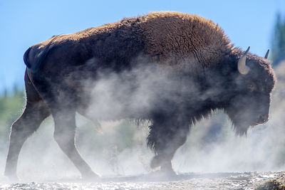 Bull Bison walking through geyser steam.