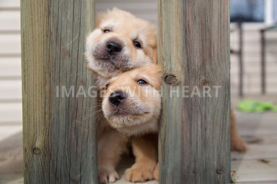 Two puppies squeezing through fence