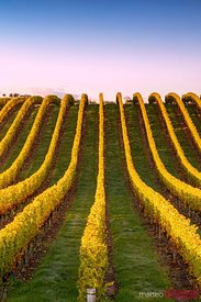 Vineyards at sunrise, Blenheim, Marlborough, New Zealand