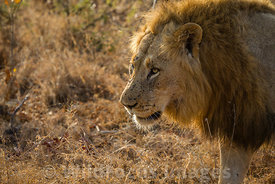 Male African Lion (Panthera leo) near  Main Dam, Shindzela, Timbavati Nature Reserve, South Africa; Landscape