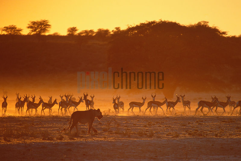 Lion Walking in Dry River Bed Watched by Herd of Springbok