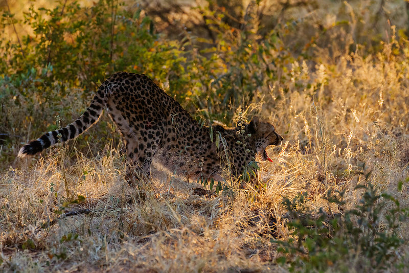 Cheetah Stretching in Early Morning Light