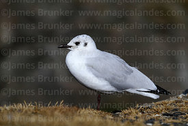 Adult Andean gull (Larus or Chroicocephalus serranus) in winter / non-breeding plumage