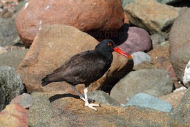 Blackish oystercatcher ( Haematopus ater ) on rocky shore
