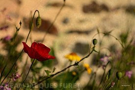 Coquelicot-MG381-2016-07-16