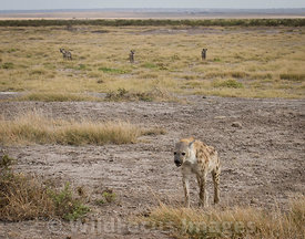 Female Spotted hyaena (Crocuta crocuta) being harassed by 3 males, Amboseli National Park, Kenya; Landscape