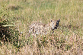 Male Leopard in the Grass