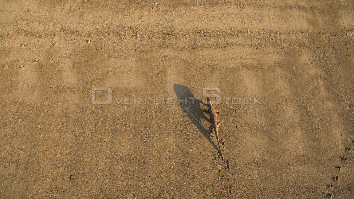 Aerial view of Komodo dragon (Varanus komodoensis) walking across sand, Komodo National Park, Indonesia. Vulnerable species.