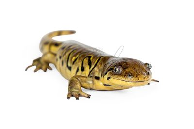 Tiger Salamander Over White