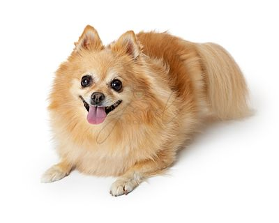 Happy Pomeranian Dog Lying Down on White
