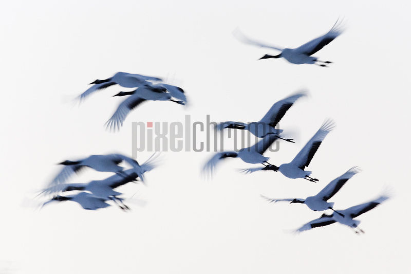 Japanese cranes (Grus japonensis) in flight (blurred motion)