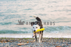 wet border collie running out of the water with yellow toy in mouth
