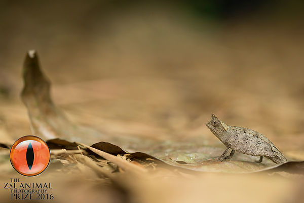 Brown Leaf Chameleon, Ranomafana National Park
