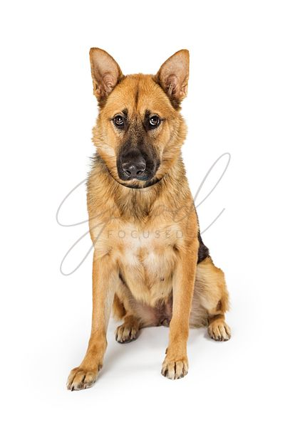 German Shepherd Crossbreed Dog Sitting Looking Down