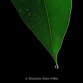 Eucalyptus Leaf on Black Backgroud.