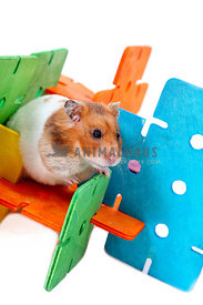 hamster playing with brightly colored activity toy