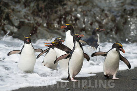 Macaroni Penguins Eudyptes chrysolophus Hercules Bay South Georgia January