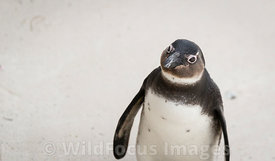 African Penguin (Spheniscus demersus) at Boulders, Table Mountain National Park, South Africa; Portrait