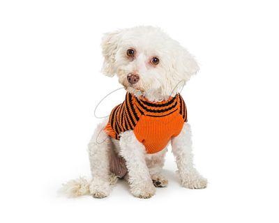 Small Dog Wearing Halloween Sweater