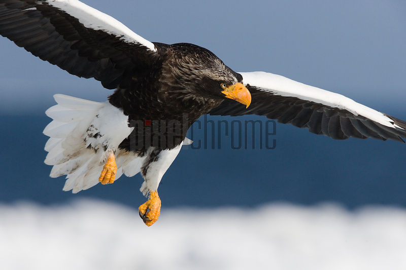 Steller's Eagle in flight, Nemuro Channel, Hokkaido, Japan