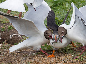 Puffin Fratercula arctica with a beakful of fish being robbed by Black-headed Gulls as it returns to breeding colony on Inner Farne, Farne Islands Northumberland, June
