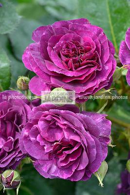la phototh que les plus beaux jardins rosa minerva le plus grand choix de photos de jardin. Black Bedroom Furniture Sets. Home Design Ideas