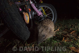 European Hedgehog Erinaceus europaeus in garden at night Holt Norfolk