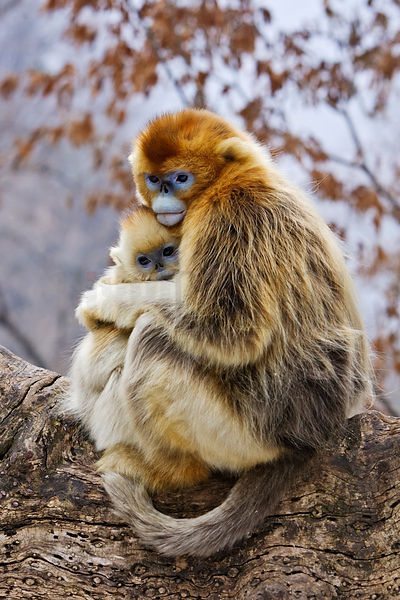 Mother and Young Golden Monkeys