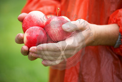 Holding fresh ripe apples
