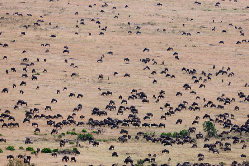 Wildebeest (Connochaetes taurinus) aerial view of migrating herds, Masai-Mara Game Reserve, Kenya