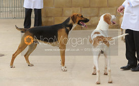 Cottesmore Robber (left) - Cottesmore Hunt Puppy Show 2013