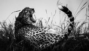 03267-The_cheetah_is_tired_Laurent_Baheux