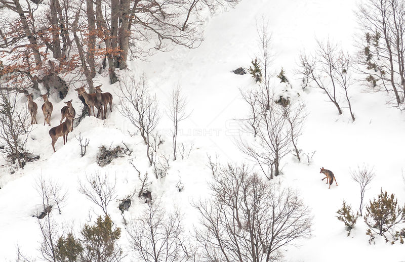 Wolf (Canis lupus) approaches a small herd of Red deer (Cervus elephas) in snow, Abruzzo, Italy. Highly commended in the Mammals category of the GDT Competition 2013