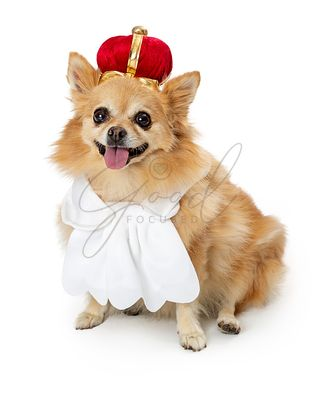 Pomeranian Dog Wearing King Costume