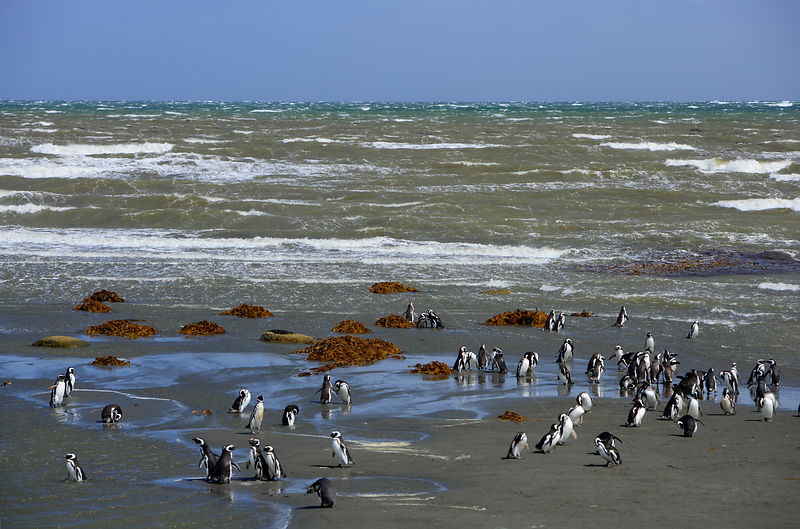 Flock of Magellanic Penguin (Spheniscus magellanicus) at the beach near their breeding colony in Seno Otway, Patagonia, Chile, January 2006