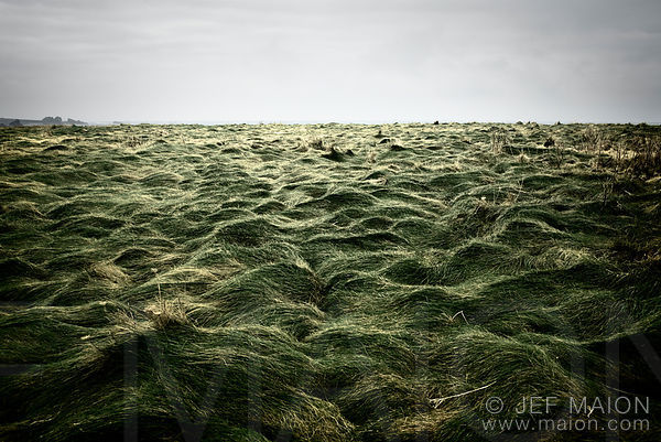 Sea shore grass sculpted by the wind