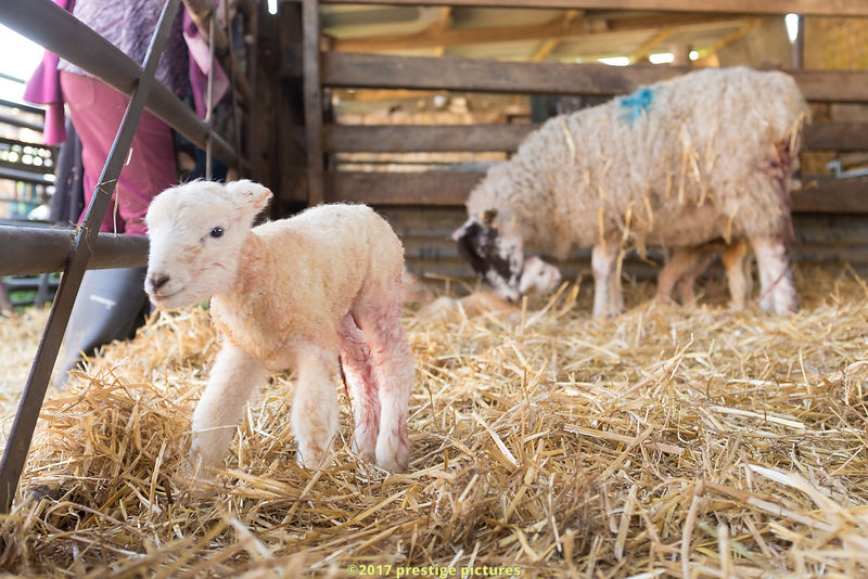 Newborn lamb in a pen with her mother in the background